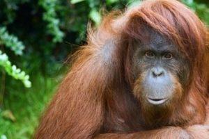 Aussterben Primaten
