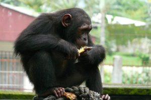 Schimpanse in Kamerun