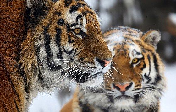 05-Amur-Tiger-Panthera-tigris-altaica-c-Igor-Zhorov-WWF.jpg