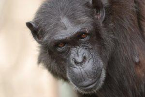 13-07-18 Schimpansen.jpg