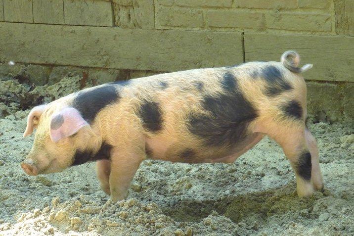 13-08-27 schwein.jpg