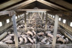 13-09-17 Schweine.jpg