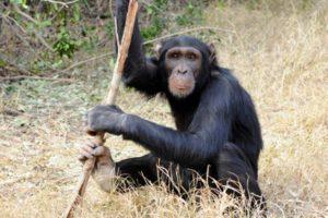 13-10-23-chimp.jpg