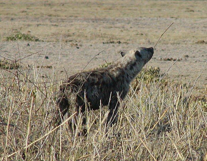 13-11-11 Hyäne.jpg