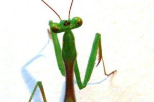 13-11-26-mantis.jpg