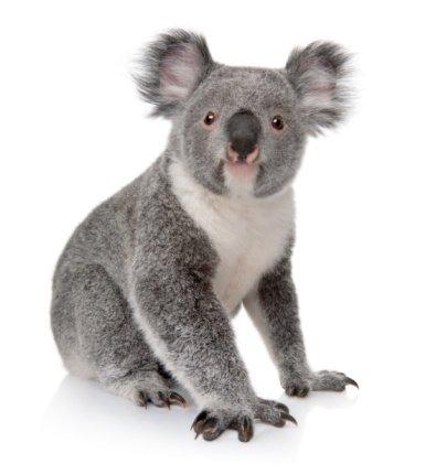 13-12-02 Koala.jpg