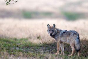140908-nabu-wolf-munster-nord-juergen-borris3.jpg