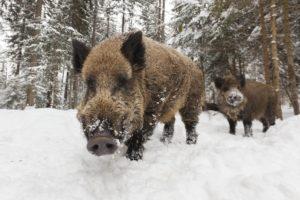 15-01-23 Wildschwein.jpg