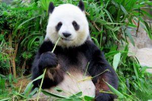 15-03-27 Panda.jpg
