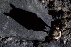 150421-nabu-grosses-mausohr-c-stein.jpg