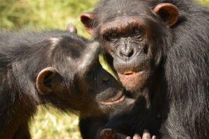 16-01-14 Schimpansenfreunde.jpg