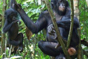 16-05-30 Bonobo.jpg