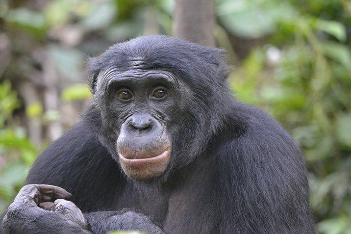 18-01-05-bonobo.jpg