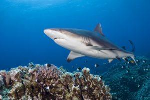 Fischerei bedroht Haie