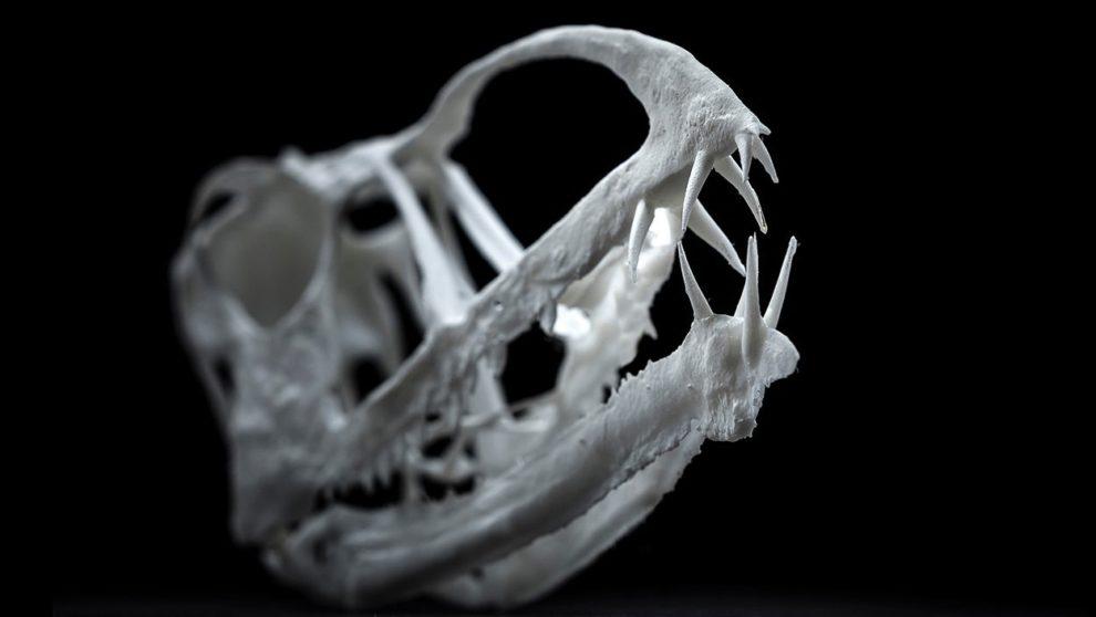 Pterosaurier-Schädel