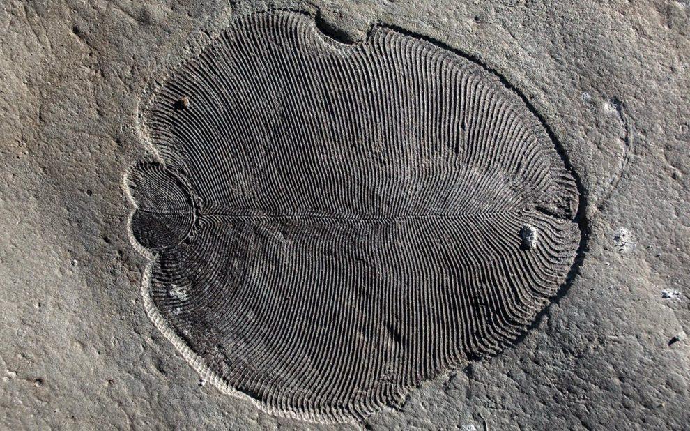 Dickinsonia-Fossil