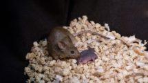 Maus mit zwei Müttern