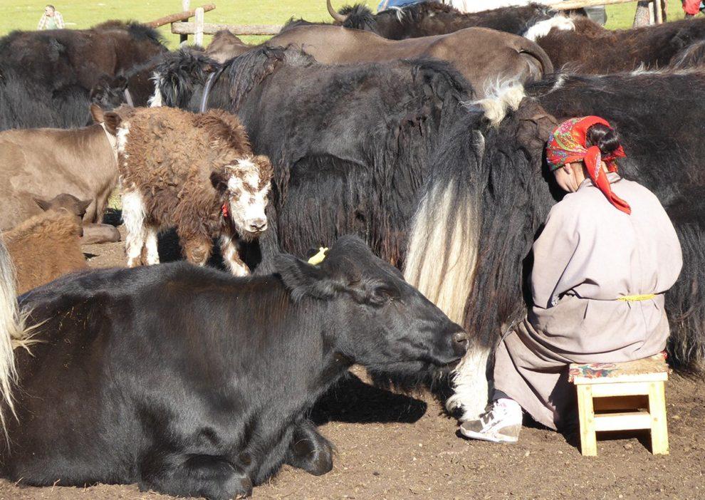 Mongolische Milchwirtschaft
