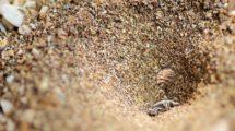 Ameisenlöwe