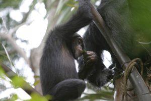 19-06-09-chimps.jpg