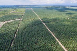 Palmölplantagen
