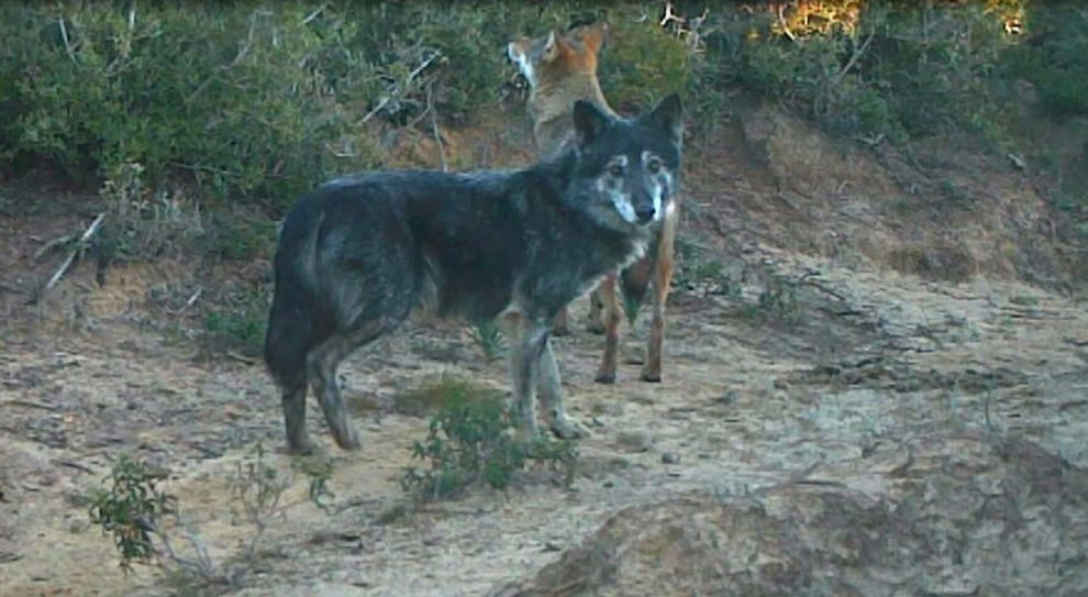 Wolf und Wolfshund
