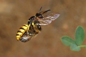 Bienenwolf mit Honigbiene