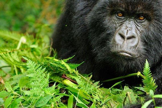 Aufmacher-Gorilla.jpg