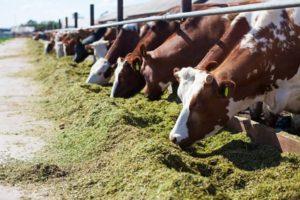 Rinder beim Fressen