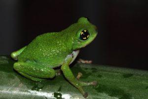 Frosch Indien