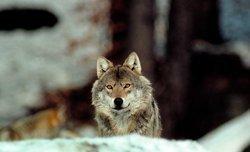 Wolf_NABU H. Pollin