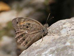 S_newsimage225400_Kirinia-roxelana_Copyright-Gideon-Pisanty-Wikimedia.jpg