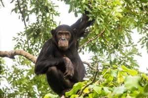 Schimpanse.jpg