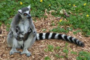 bearbeitet_lemur.jpg
