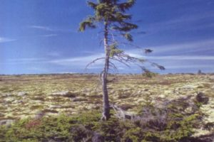 bearbeitet_sweden_oldest_tree.jpg
