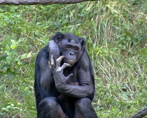 bonobo_onl01.jpg