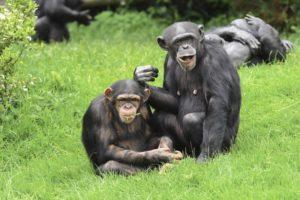 chimpbdw01.jpg