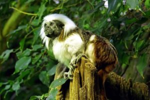 cotton_top_tamarin01.jpg