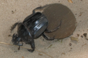 dungbeatle.png