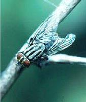 flyparasitoid.jpg