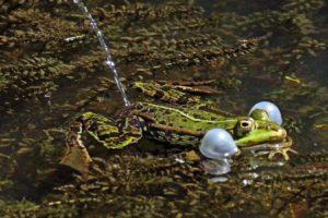 frosch-pinkelt.jpg