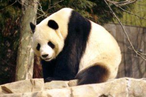 giant_panda_onl.jpg
