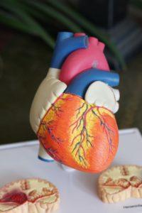 Modell eines Herzes