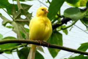 kanarienvogel.jpg