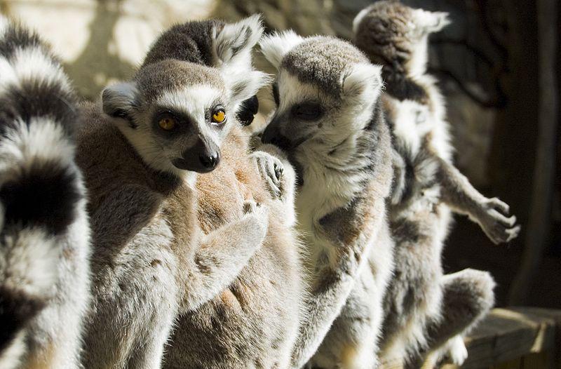 lemuren.jpg