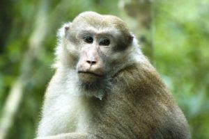 male_assamese_macaque.jpg