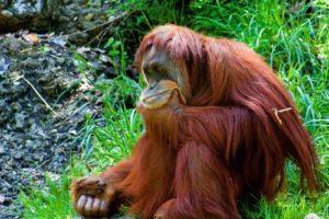 orangutan_onl.jpg