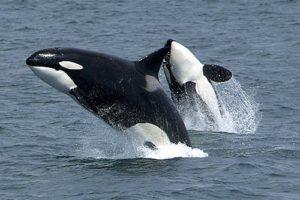 orca01.jpg