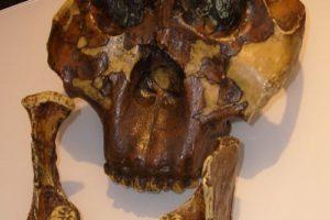 paranthropus_boisei_skull.jpg