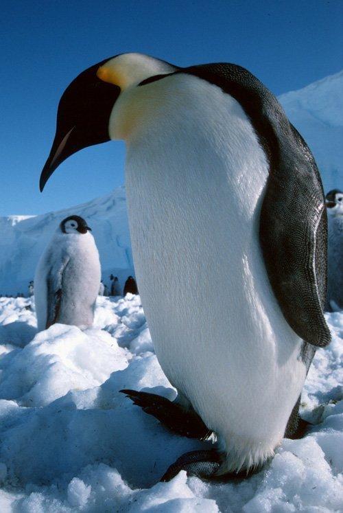 pinguin_und_kueken.jpg